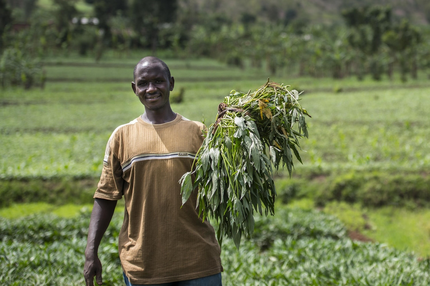 Ensuring a Sustainable Supply of Quality Sweetpotato Planting Material