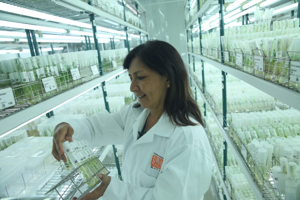 DNA fingerprints have helped genetic resources manager Ana Panta improve  the fidelity of the genebank s cultivated potato and sweetpotato  collections. fc9bd10a239f9