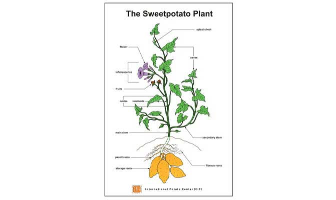 sweetpotato