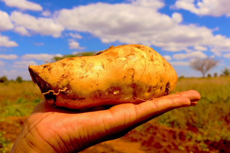 Which variety of sweetpotato is best for you?