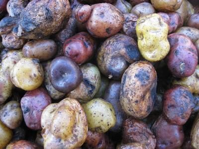 The potato museum that could help us fight hunger in a changing climate
