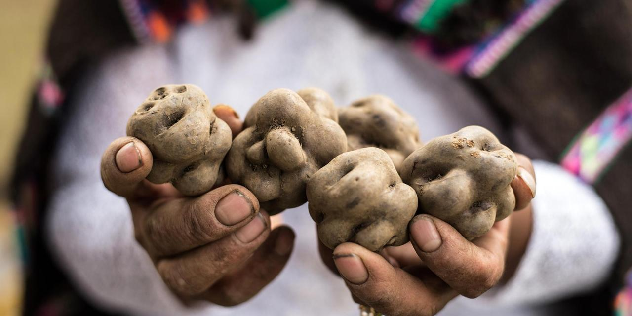 A potato producer holds a varity of native potato at a local market in Lima on May 31, 2017. Potatoes, one of the world's largest food crops, are believed to have first been cultivated by the Inca Indians in the region of modern-day southern Peru and extreme northwestern Bolivia around 8,000 to 5,000 BC. Peru is the largest producer of potatoes in Latin America. / AFP PHOTO / Ernesto BENAVIDES        (Photo credit should read ERNESTO BENAVIDES/AFP via Getty Images)
