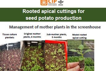 Rooted apical cuttings for seed potato production: Management of mother plants in the screenhouse
