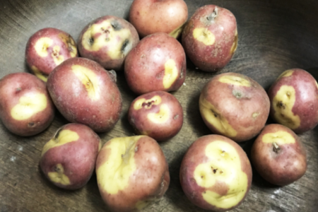 Study Finds Spuds Excellent Source of Iron